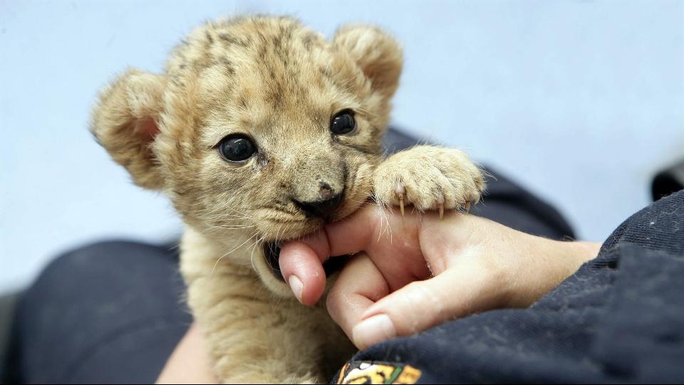動物かじるライオン